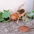 Potato bug