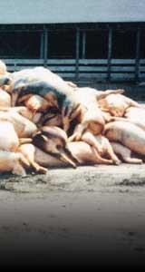 Pile of dead hogs