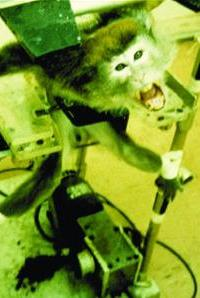 Crazed monkey restrained in testing apparatus