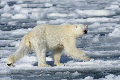 polar bear 3