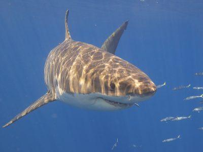 great white shark 3