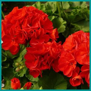 WHOLESALE Geraniums