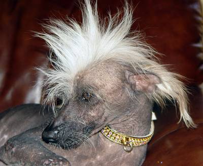 https://i0.wp.com/unclerooney.com/wp-content/uploads/2013/06/chinese_crested_2.jpg