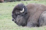 Un bison est parfois pas très beau.