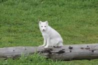 Le renard polaire est lui tout le temps mignon !