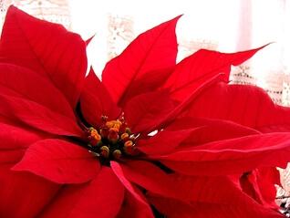 Review: Poinsettia – Tiffany Reisz