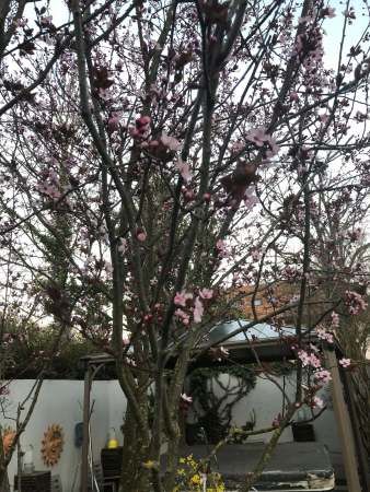 Plum tree in bloom - (un)Conventional Bookworms - Weekend Wrap-up