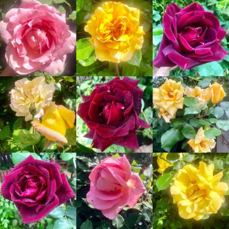 roses from the garden - (un)Conventional Bookworms - Weekend Wrap-up