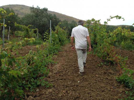 vineyard Marco