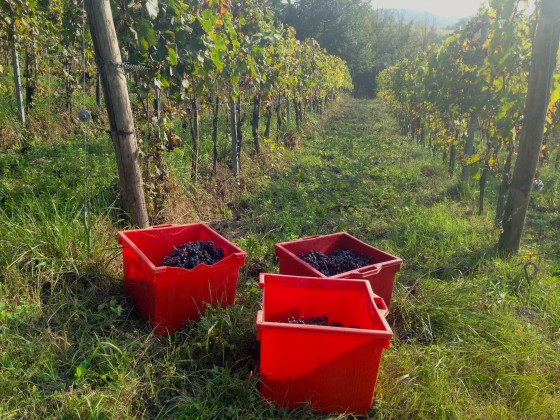 vineyard buckets