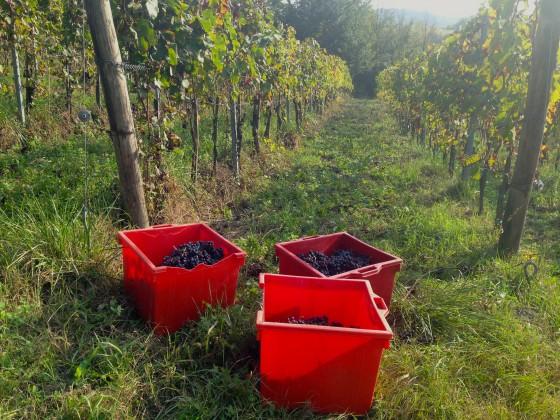 vineyard buckets