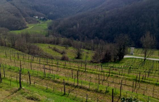 vines in valley