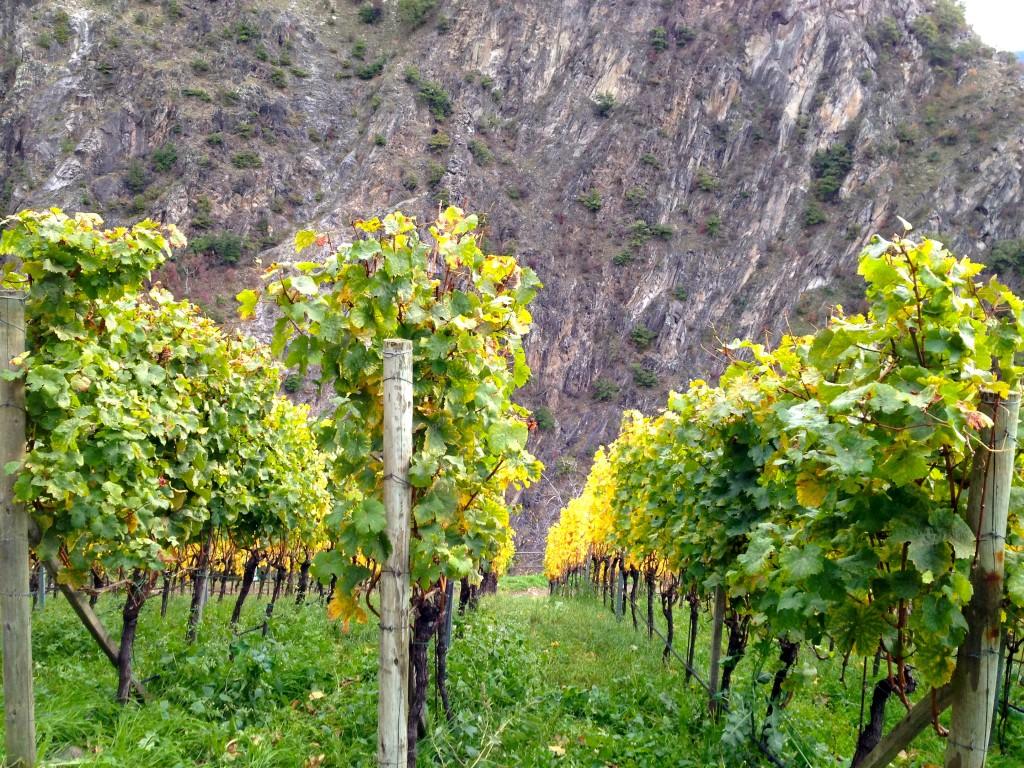 vineyard on hill