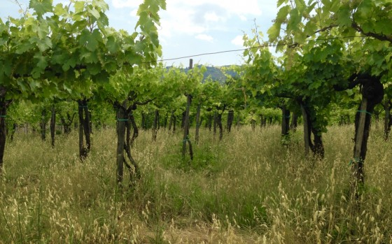 vines in vineyard