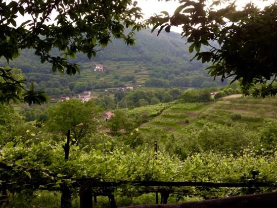 vineyard view down
