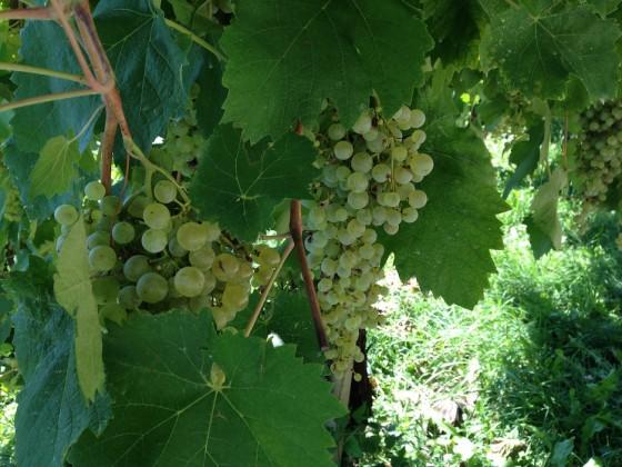 greenwhite-grapes