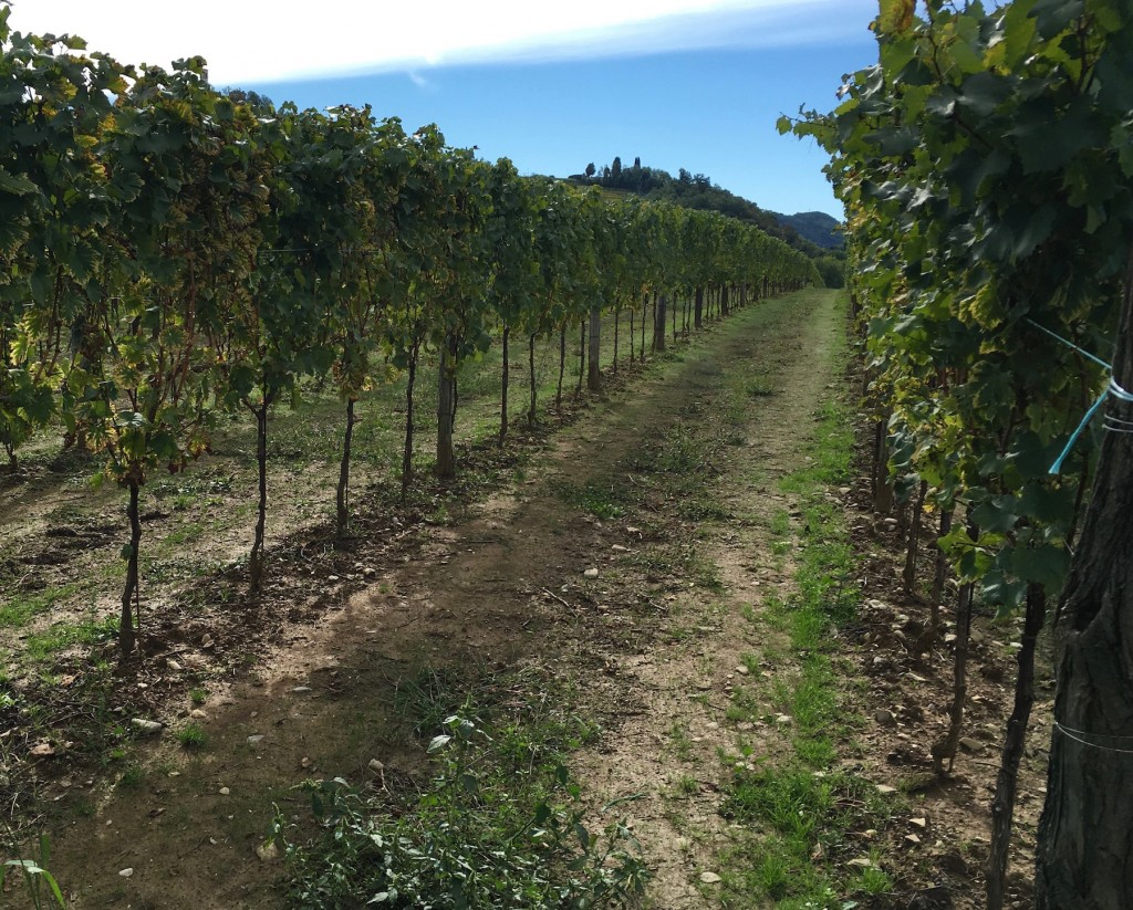 straight-vines
