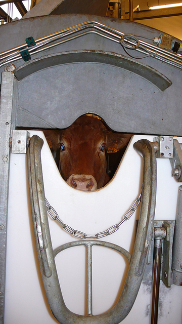 Vache dans un box de contention à l'abattoir, photo L214, article végane pour les animaux