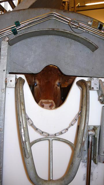 Vache dans un box de contention à l'abattoir, photo L214, article végane pour les animaux