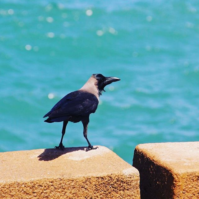 An Indian House Crow photographed on the waterfront in Stonehellip