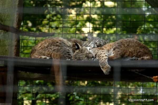 Bobcats rest in their enclosure at ZooAmerica in Hershey, Pennsylvania.