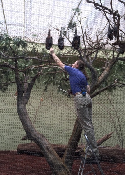 Malayan Flying Foxes at the National Aviary in Pittsburgh, Pennsylvania.