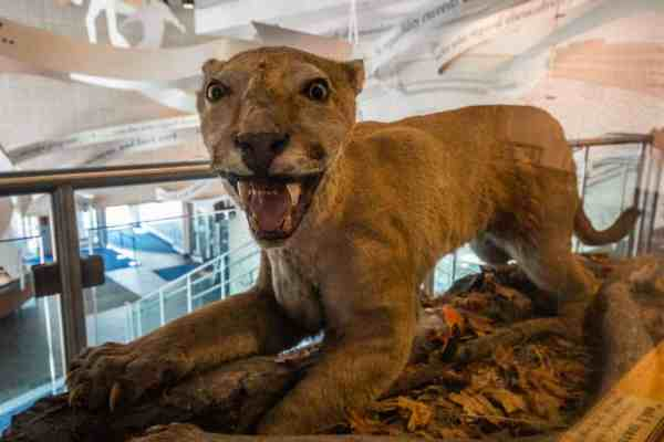 Stuffed Nittany Lion at Penn State University.