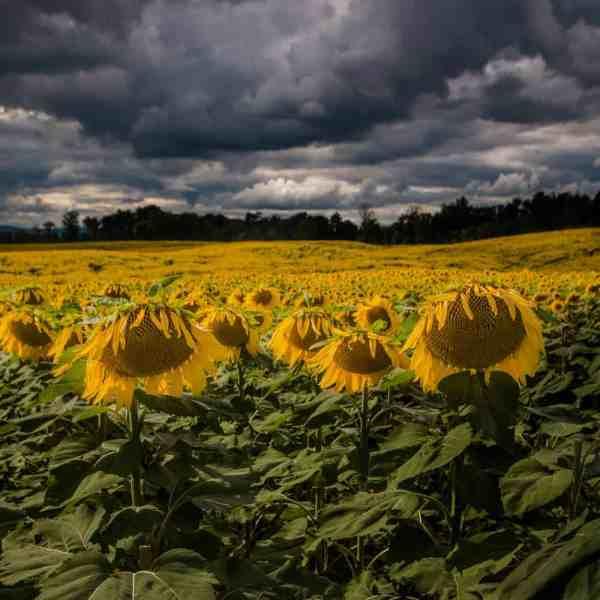 Top Pennsylvania Photos of 2017: Sunflower Field in Chambersburg