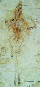 Confuciusornis feducciai (photo: UNC News)