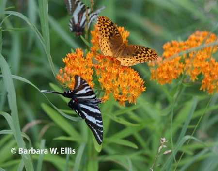 A zebra swallowtail and meadow fritillary visit native butterfly weed (Asclepias tuberosa), also a vital species for monarch butterflies. Seeds that yield more plants and feed birds follow the flowers.