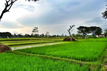 """Just After Sunrise, Klaten rice fields, Yogyakarta"" Image courtesy and copyright AainaA-Ridtz A R"