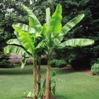 Bananplanta och Pepino beställt