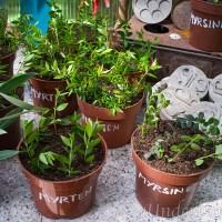 Myrten, Myrsine och Oliv, underbara växter