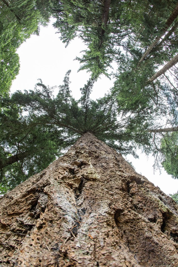 A giant redwood sequoia in the New Forest