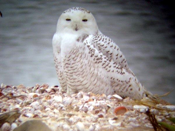 Stratford Snowy Owl - Charlie Barnard