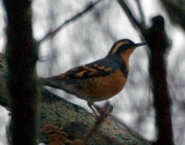 Varied Thrush - Meredith Sampson