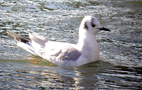 Bonaparte's Gull - Captains Cove