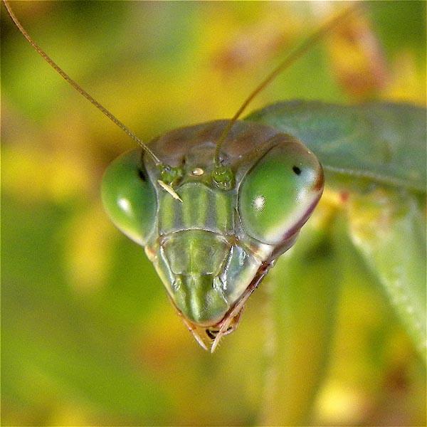Chinese Mantis - Ken Mirman