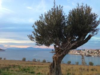 The Olive Tree - Photo by Katerina Moutsatsou