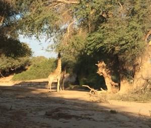 Giraffe 2 cropped
