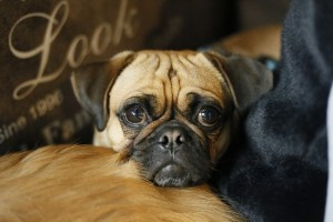 Pug listening