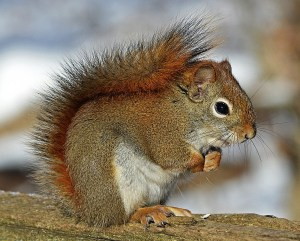 Squirrel 631372_Pixabay