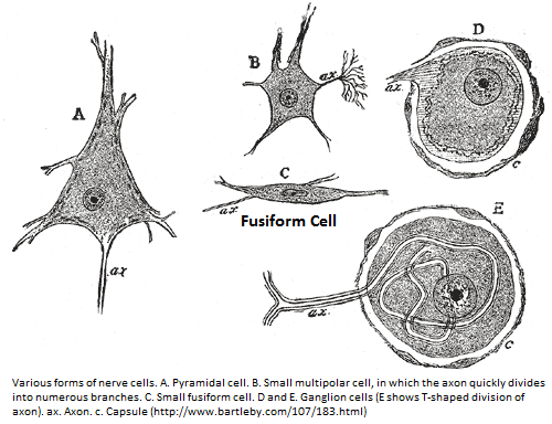Fusiform Cell Morphology