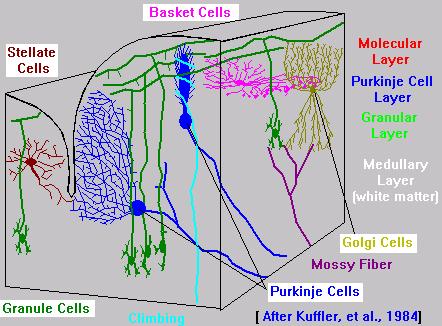 Cerebellum Layers