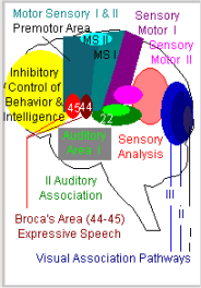 Visual Association Pathways in the Brain