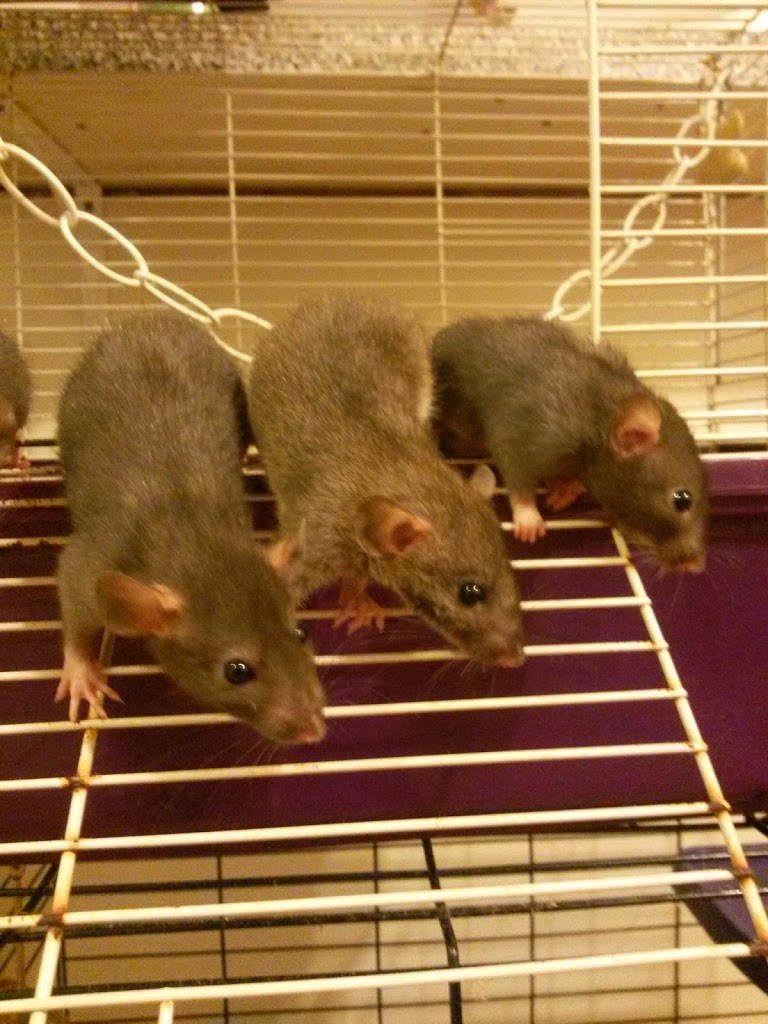 Pick The Perfect Cage For Your Rats Understanding Pet