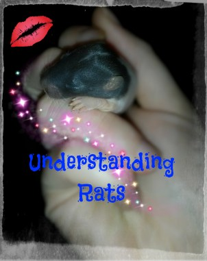 Fancy rats make amazing pets, and come in a variety of types such as rex, dumbo, hairless, velveteen, patchwork, tailless, and more! This 2 week old rat baby is a standard ear :)
