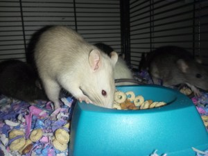 Champagne Ruby Eyed Male Rat Tossing Cheerios Around In The Pretty Pink & Purple Carefresh Bedding