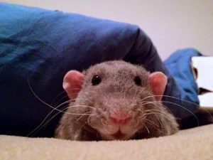 blue dumbo eared rex rat in bed