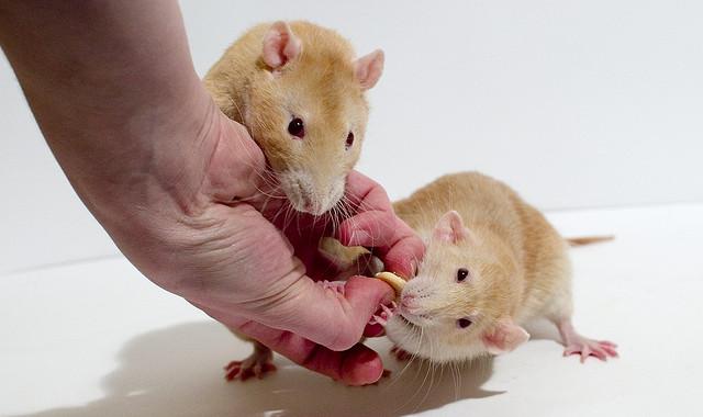 Fancy rats as pets - photo#26